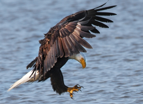 Bald_Eagle_FlickrCC.jpg